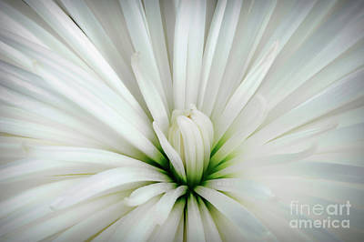 Photograph - White Flower Unblemished by Mary Raderstorf