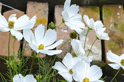 Photograph - White Flowers Against Bricks by Lynn Hansen