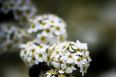 Photograph - White Flowers by Jay Stockhaus