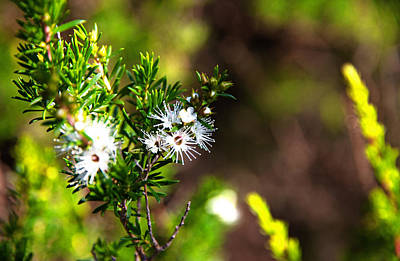 Photograph - White Flowers Of Kunzea Ambigua by Miroslava Jurcik