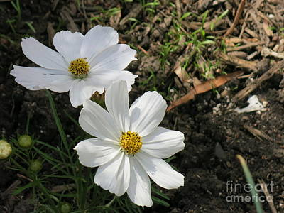 Photograph - Two White Flowers by Rod Ismay