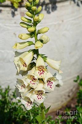 Photograph - White Floxglove by Maria Urso