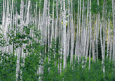 Photograph - White Forest by Tim Reaves