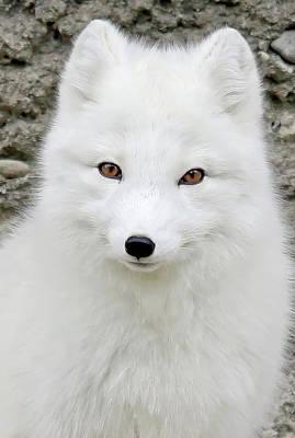 Photograph - White Fox by Athena Mckinzie