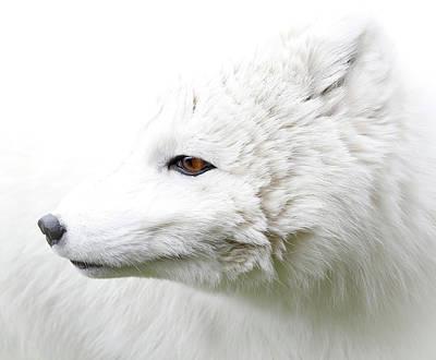 Photograph - White Fox Profile by Athena Mckinzie