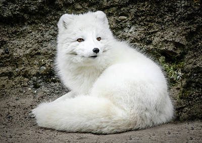 Photograph - White Fox Relaxing by Athena Mckinzie
