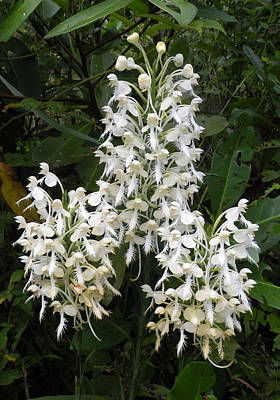 Photograph - White Fringe Orchid - Florida Native by rd Erickson