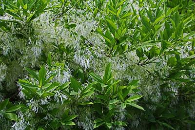 Photograph - White Fringe Tree by Michiale Schneider