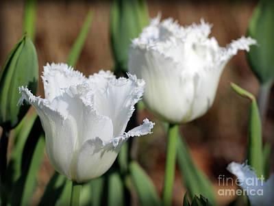 Photograph - White Fringed Tulips by Karen Adams