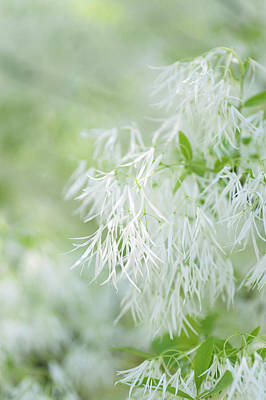 Photograph - White Fringetree Bloom by Jenny Rainbow