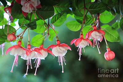 Photograph - White Fuchsia by Carol Groenen