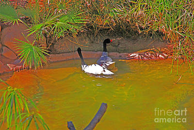 Photograph - White, Geese, On, Pond by David Frederick