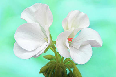 Photograph - White Geranium by Terence Davis