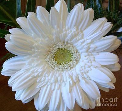 White Gerber Beauty Art Print by Marsha Heiken