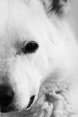 Photograph - White German Shepherd by Alan Harman