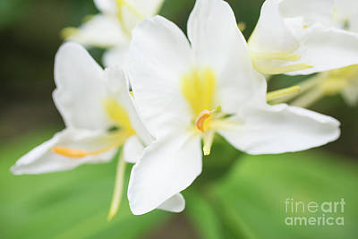White Ginger Blossom Art Print by Charmian Vistaunet