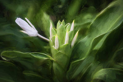 Photograph - White Ginger Flowers H Coronarium Painted 004 by Rich Franco