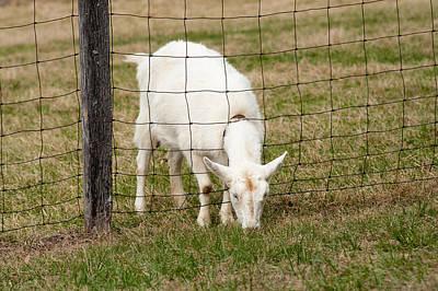 Photograph - White Goat by Joye Ardyn Durham