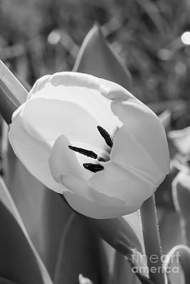 Nature Photograph - White Goddess Tulip Photography  by Nikki Vig