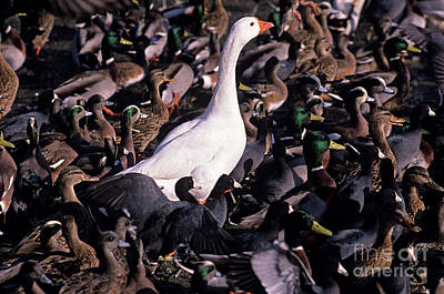 Photograph - White Goose Amongst Ducks And Coots  by Jim Corwin