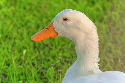 Photograph - White Goose Profile by Diane Bell
