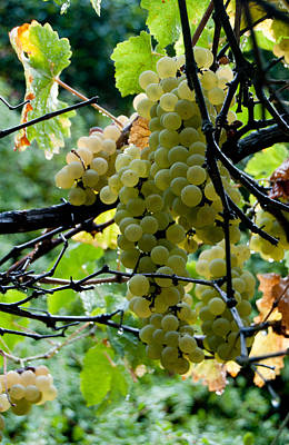 Photograph - White Grapes by Jani Freimann