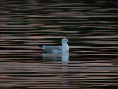 Photograph - White Gull On Black Water by Patti Deters