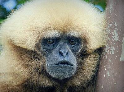 Photograph - White-handed Gibbon by Lori Seaman
