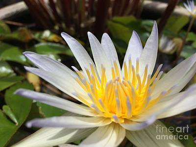 Photograph - White Hawaiian Waterlily I by Terri Thompson