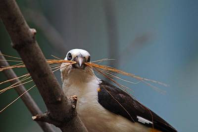 Photograph - White-headed Buffalo Weaver by Michiale Schneider