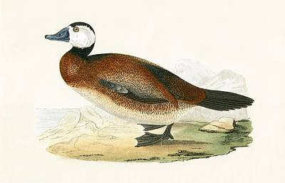 Ducks Painting - White Headed Duck by English School