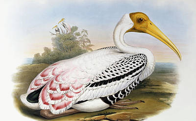 Ibis Painting - White-headed Ibis, Tantalus Leucocephalus by John Gould