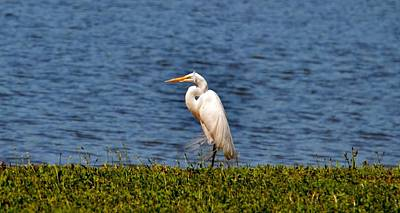 Photograph - White Heron by Eileen Brymer