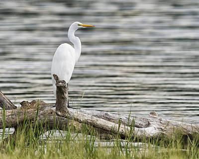 Photograph - White Heron by Gary Neiss