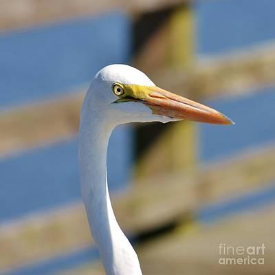 Photograph - White Heron Headshot- 2 by Bob Sample