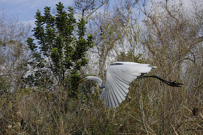 Photograph - White Heron In Flight by Diana Haronis