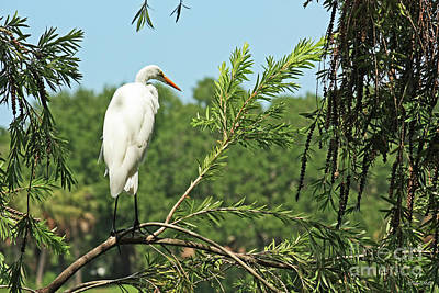 Photograph - White Heron In Tree by Terri Mills