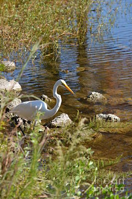 Photograph - White Heron Looking For His Next Meal by Bob Sample