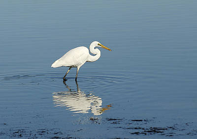 Photograph - White Heron Reflected by Barry Culling