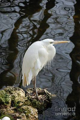 Lovely Lavender - White Heron by Robert Meanor