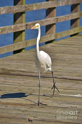 Photograph - White Heron Struting His Stuff-1  by Bob Sample