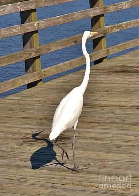 Photograph - White Heron Struting His Stuff-2 by Bob Sample