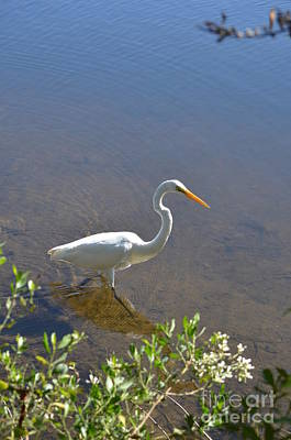 Photograph - White Heron Wading by Bob Sample