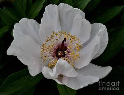 Photograph - White Hibiscus by Jeannie Rhode