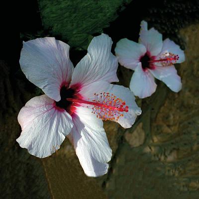 White Hibiscus Pair Art Print