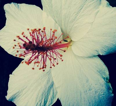 Photograph - White Hibiscus- Process by Alohi Fujimoto