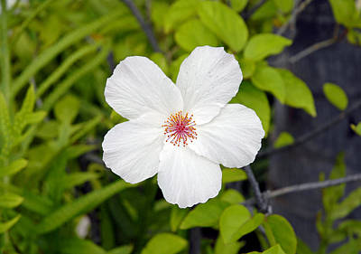 Photograph - White Hibiscus by Robert Meyers-Lussier