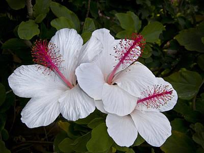 White Hibiscus Trio Art Print