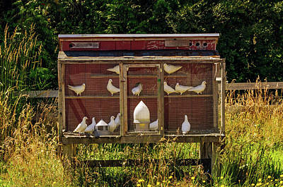Photograph - White Homing Pigeons by Tikvah's Hope