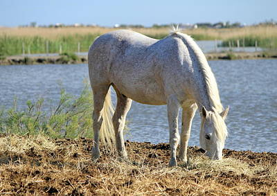 Photograph - White Horse Eating, Camargue, France by Elenarts - Elena Duvernay photo